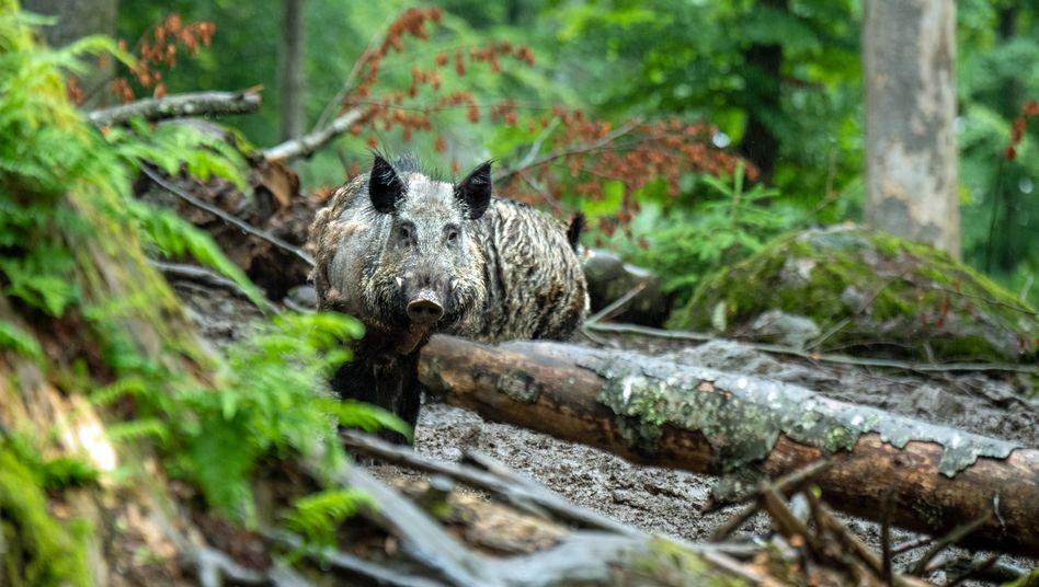 Die Tierseuche konnte mittlerweile bei 34 toten Wildschweinen nachgewiesen werden