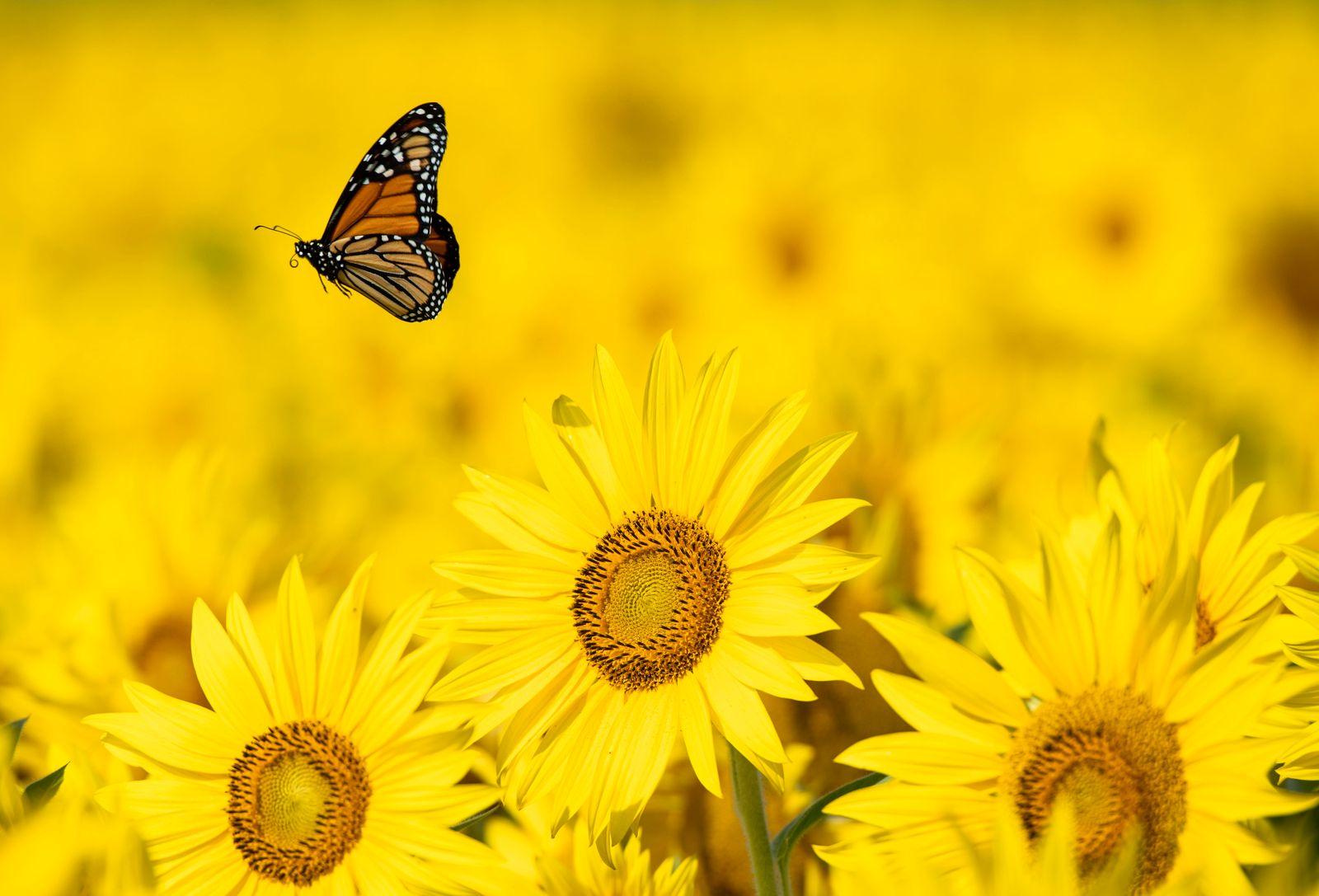 Sonnenblumenfeld in Ottawa
