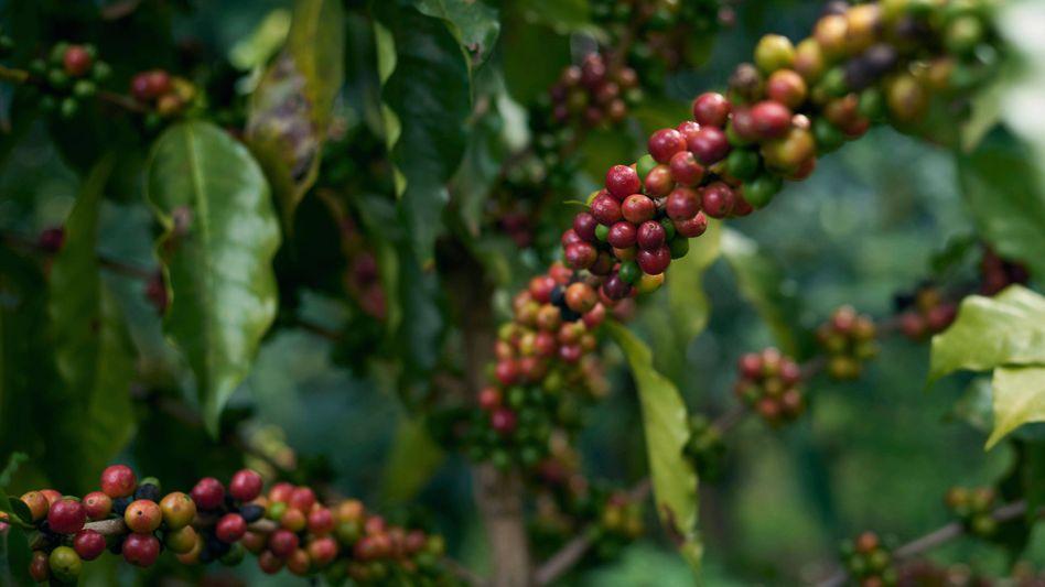 Kaffeebohnen auf einer Plantage in Brasilien