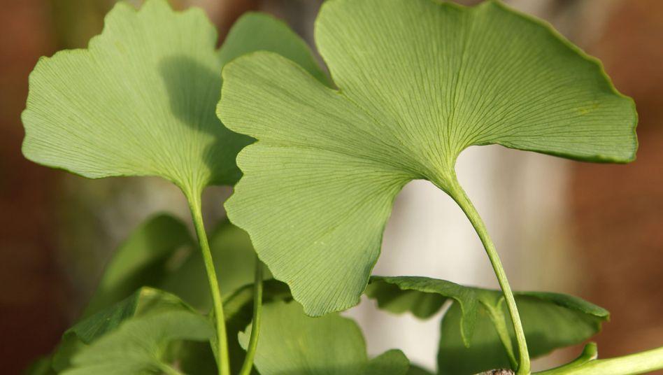 Ginkgo-Blätter: Extrakte als Naturheilstoffe sind sehr begehrt