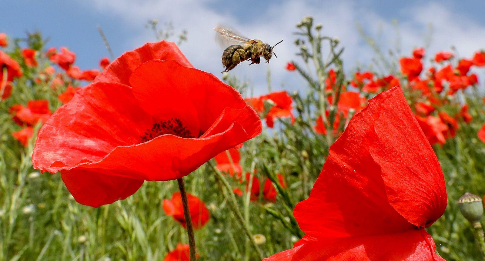 Biene im Klatschmohn