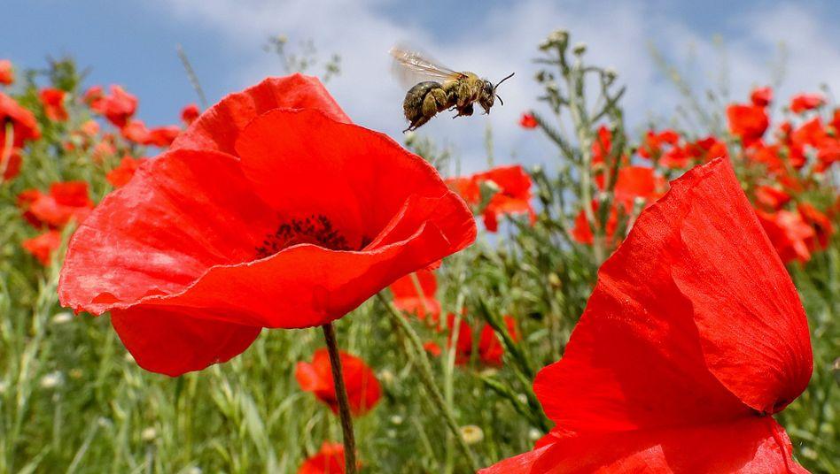 """Biene auf Klatschmohn: """"Wir müssen jetzt handeln"""", fordern die 70 Forscher aus 21 Ländern"""