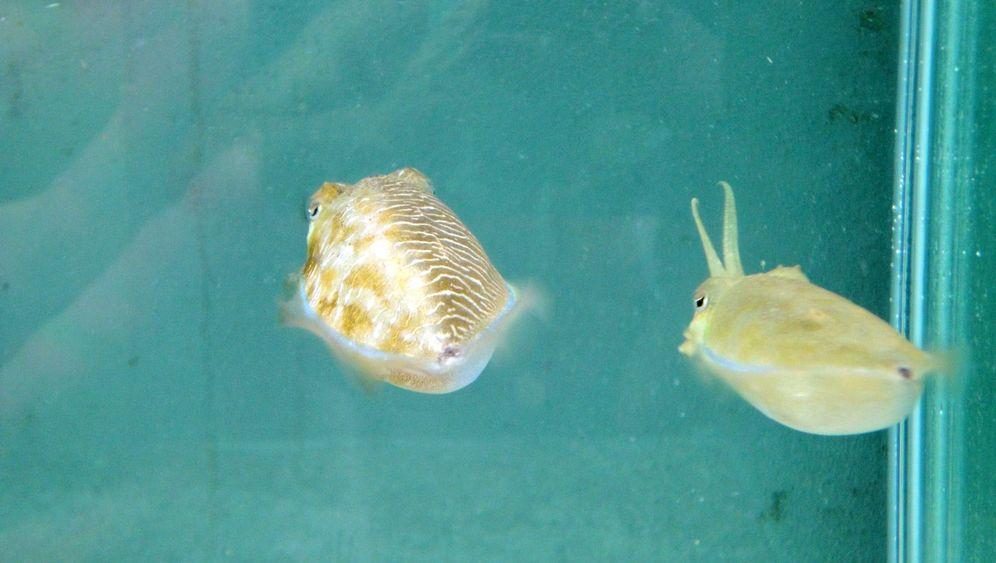 Ungewöhnliches Verhalten: Travestie-Trick der Tintenfische