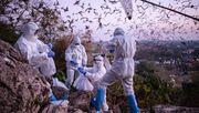 Corona wohl von Fledermäusen über anderes Tier auf den Menschen übertragen