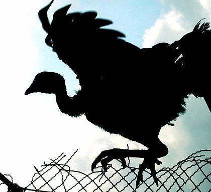 Vogel in Vietnam: Gegen Tamiflu resistentes Virus entdeckt