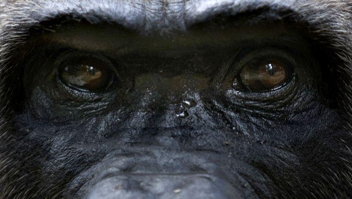 Artenschützer besorgt: Gefährdete Primaten