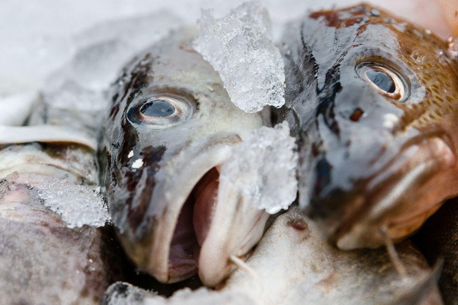 Dorsch / Fisch