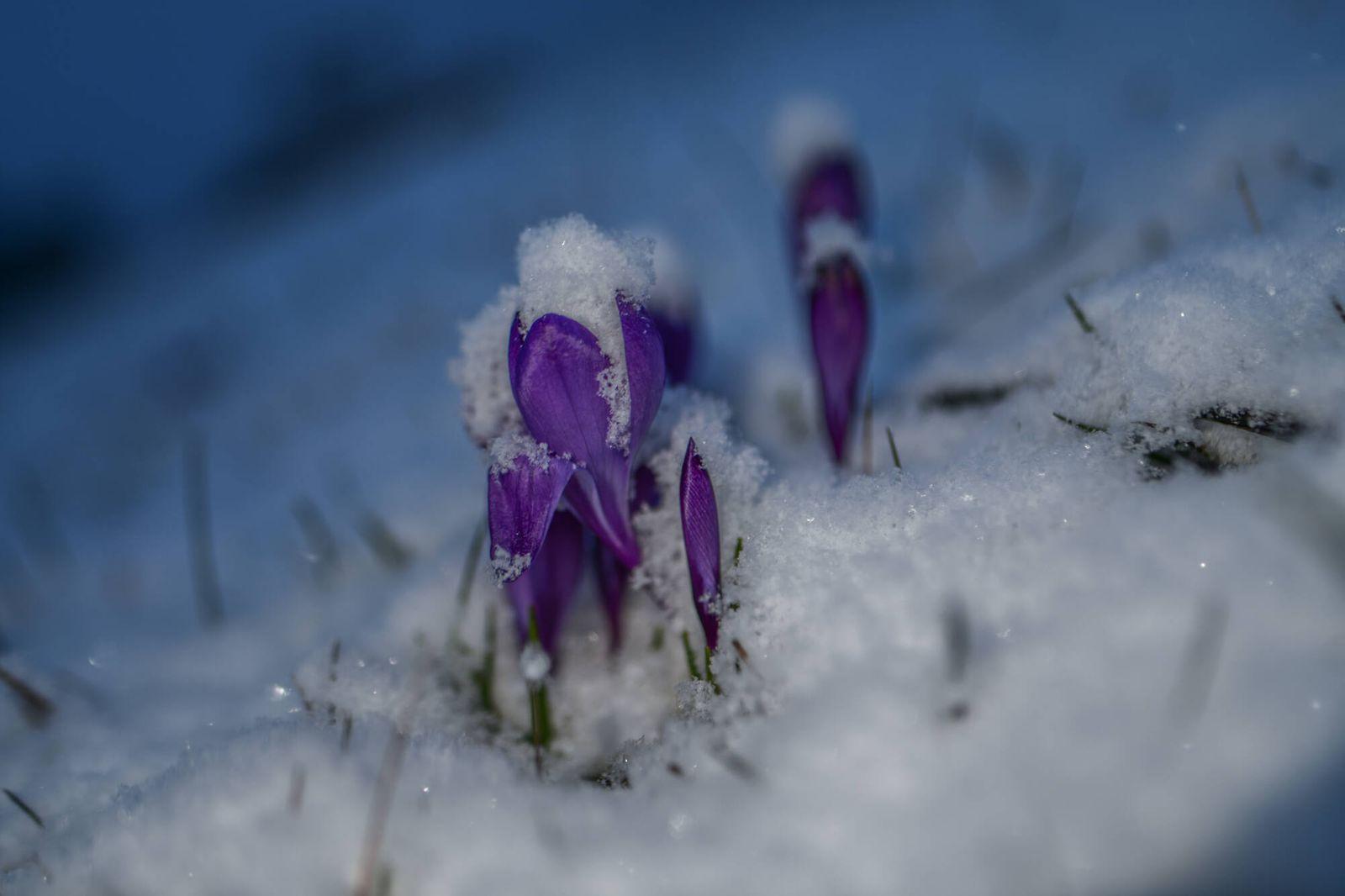 Wintereinbruch - Schneefall im Süden, 18.03.2021, Baden-Württemberg, Heubach: Die Krokusse haben ihren Kampf gegen Schne