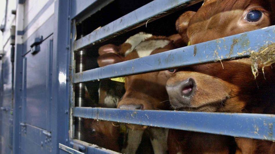 ARCHIV - 29.01.2001, Schleswig-Holstein, Nordhastedt: Kälber werden auf einem LKW transportiert. Immer mehr Bundesländer verschärfen ihre Regeln für Tiertransporte in Nicht-EU-Staaten. Foto: Ulrich Perrey/dpa +++ dpa-Bildfunk +++