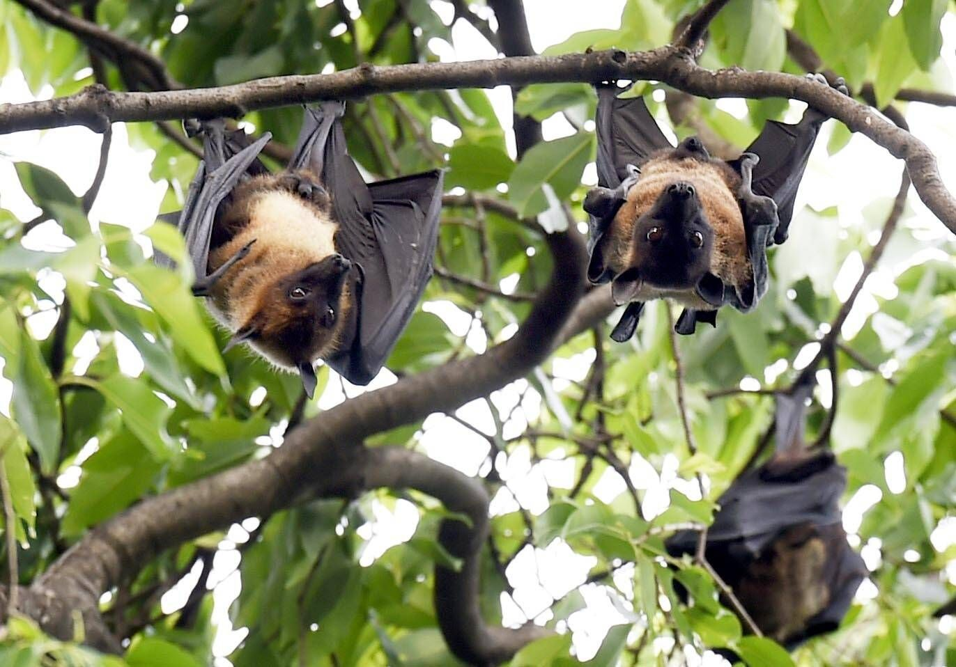 NEW DELHI, INDIA APRIL 19: Bats seen on a Jamun tree during the lockdown to curb the spread of coronavirus, at Janpath,