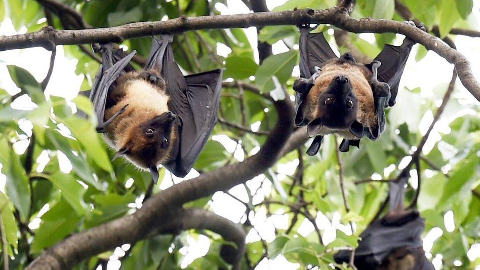 Fledermäuse hängen in einem Baum in Indien