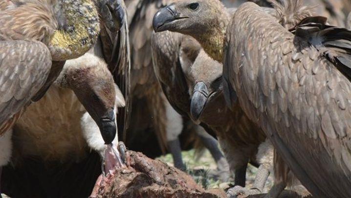 Gefährdete Greifvögel: Diagnose Bleivergiftung
