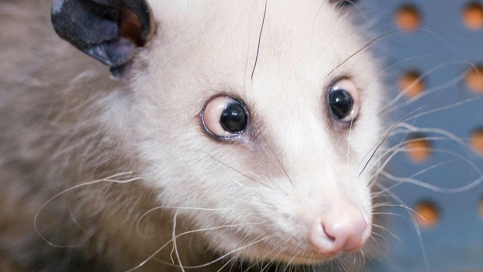Opossum Heidi: Wie eine schielende Beutelratte berühmt wurde