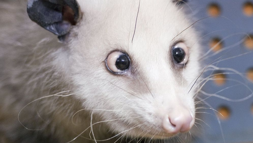 Opossum Heidi: Beutelratte mit Silberblick