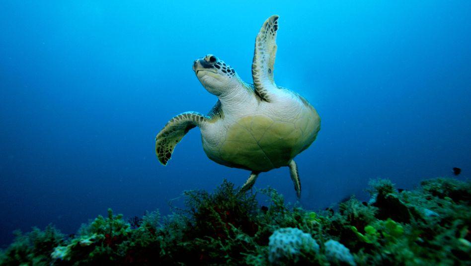 Eine Schwarze Meeresschildkröte (Symbolfoto)