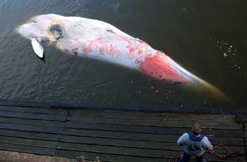 Toter Wal: Vermutlich von Schiffsschrauben getötet
