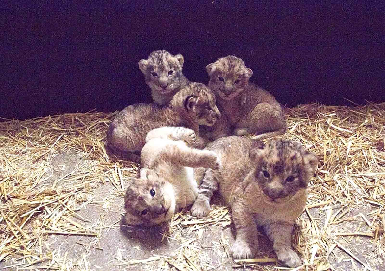 csm_02_Löwenjungtiere_im_Zoo_Leipzig_cdaf1dbe48