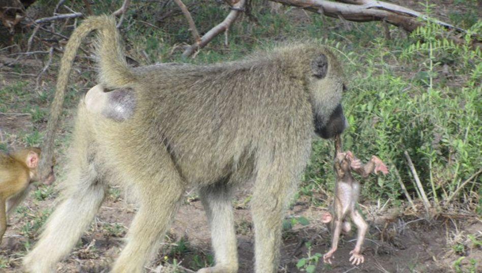 Ein Pavian-Männchen hat ein nicht von ihm gezeugtes Jungtier im Maul