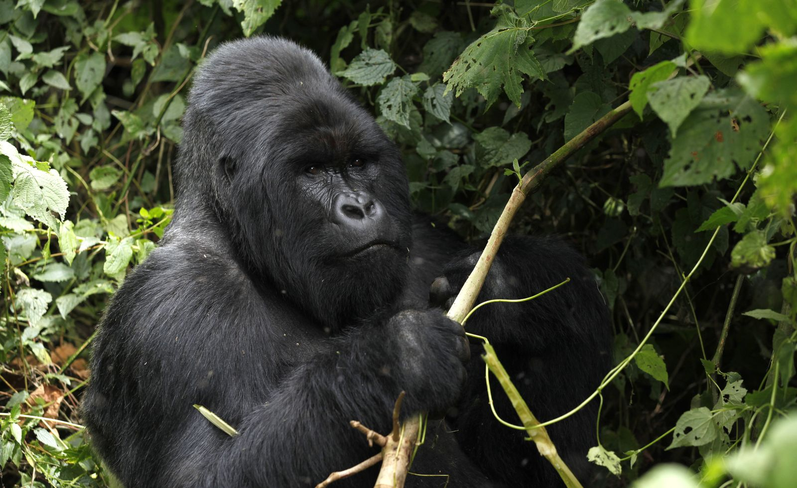 Wissenschaft/ Rückblick/ 2016/ September/ Gorilla