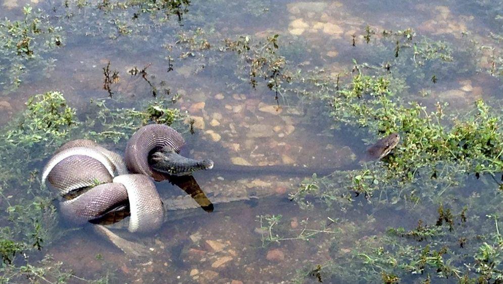 Schlange gegen Krokodil: Kampf im See