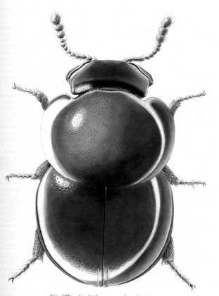 Schwammkugelkäfer: Ein Krabbeltier namens Agathidium bushi