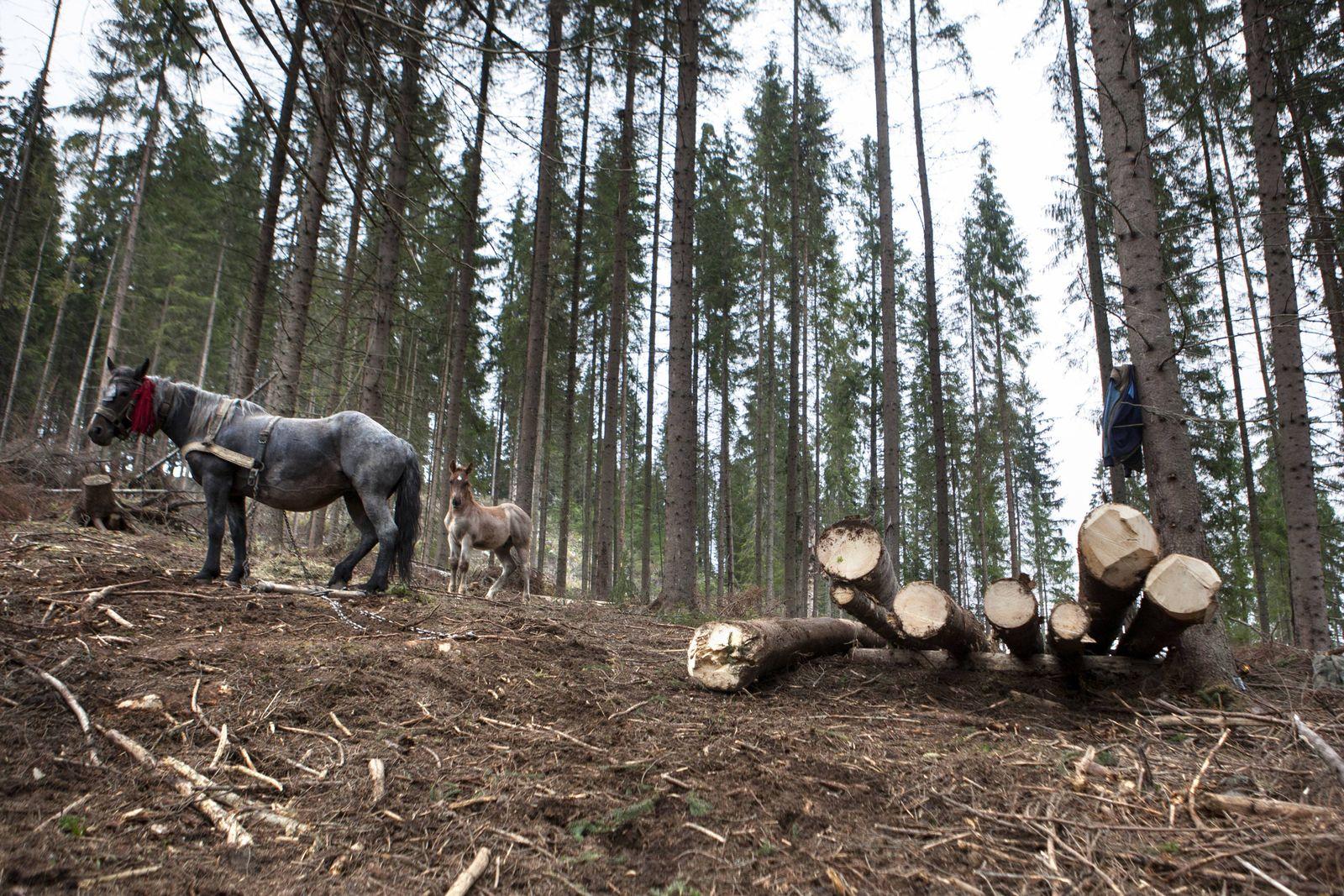 EINMALIGE VERWENDUNG Holzeinschlag in Rumänien