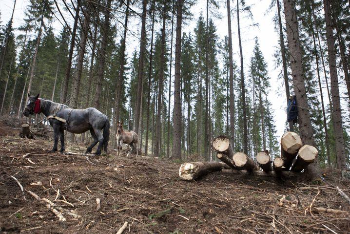 Holzeinschlag für das Sägewerk Radauti des österreichischen Unternehmens Schweighofer