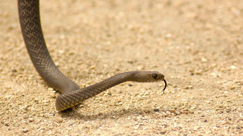 Östliche Braunschlange: Verursacht die meisten Schlangenbiss-Todesfälle in Australien