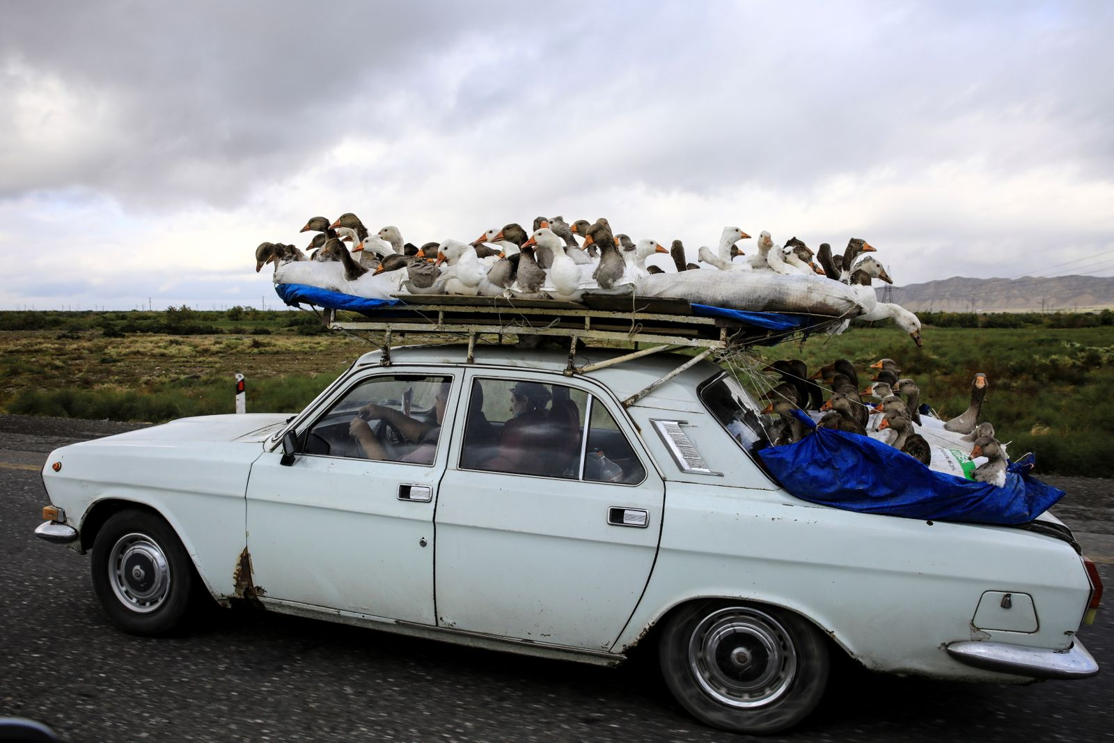 A man carries gooses on top of his car as he drives on a highway that leads to the city of Ganja