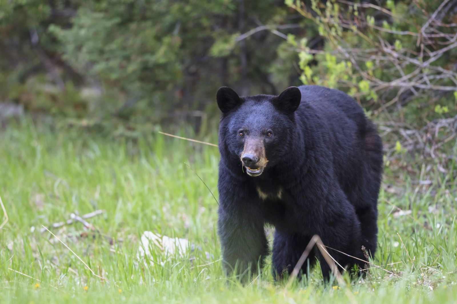 Canada Rocky Mountains Alberta Jasper National Park Banff National Park American black bear Ur