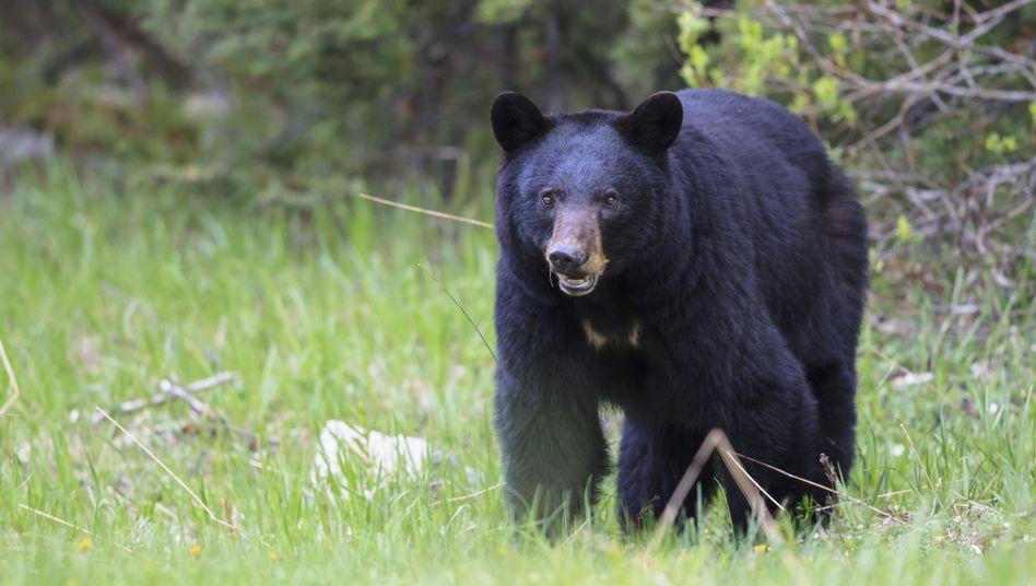 Schwarzbär in Kanada (Symbolbild): Der Ehemann der attackierten Frau erschoss denBären
