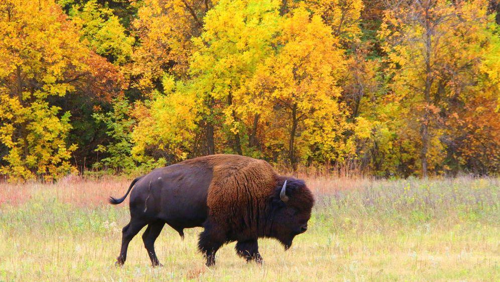 """Bisonland: Der """"Buffalo Roundup"""" von Dakota"""