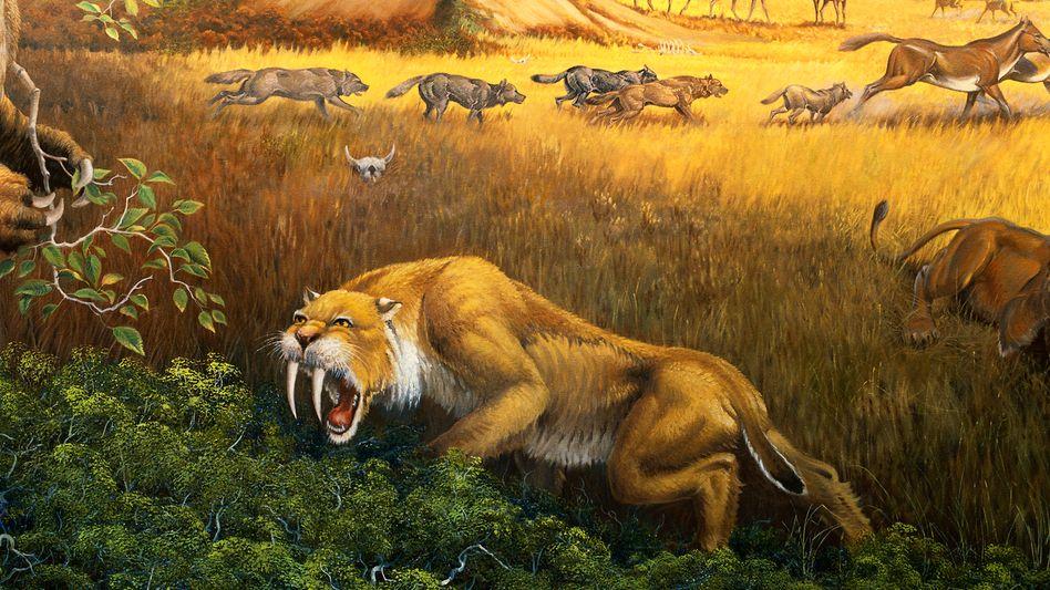 Säbelzahnkatze: Die letzten ihrer Art starben vor rund 10.000 Jahren aus