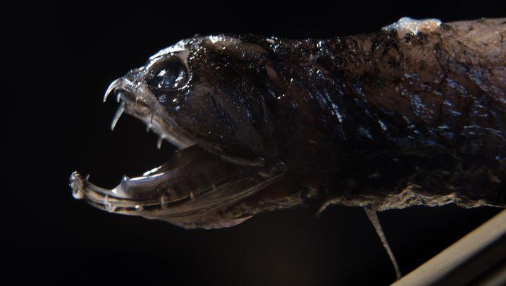 Tiefseefisch: Drache mit transparenten Zacken