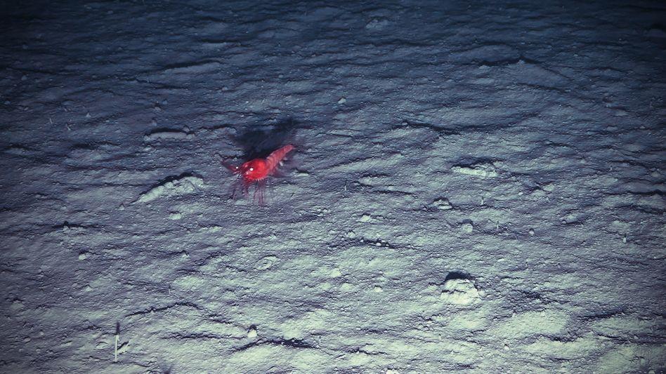 Tiefseegarnele am Ozeanboden