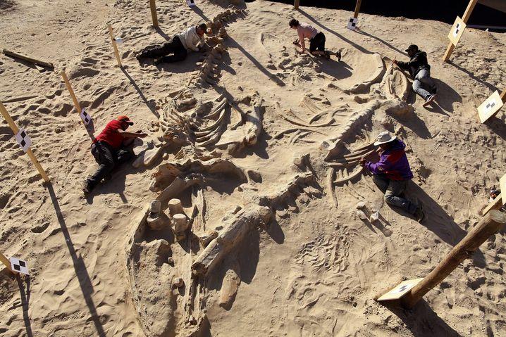 Ausgrabung prähistorischer Wale in Chile: Schon der Fund-Kontext lässt erhebliche Schlüsse auf das Alter zu, denn wir wissen, wie alt verschiedene Gesteinsschichten sind