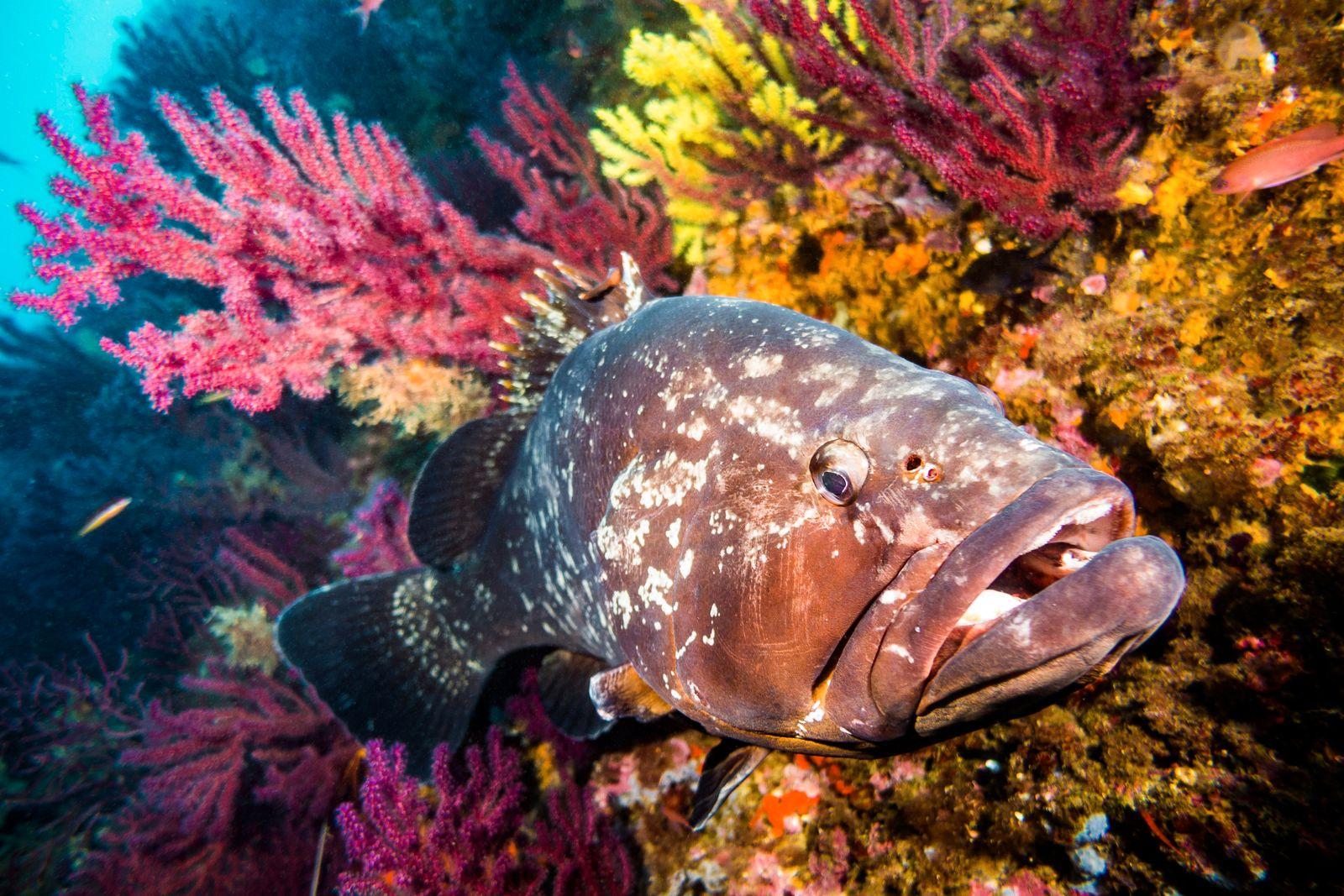 mero cherna coral Epinephelus marginatus Epinephelinae horizontal open mouth gorgonia