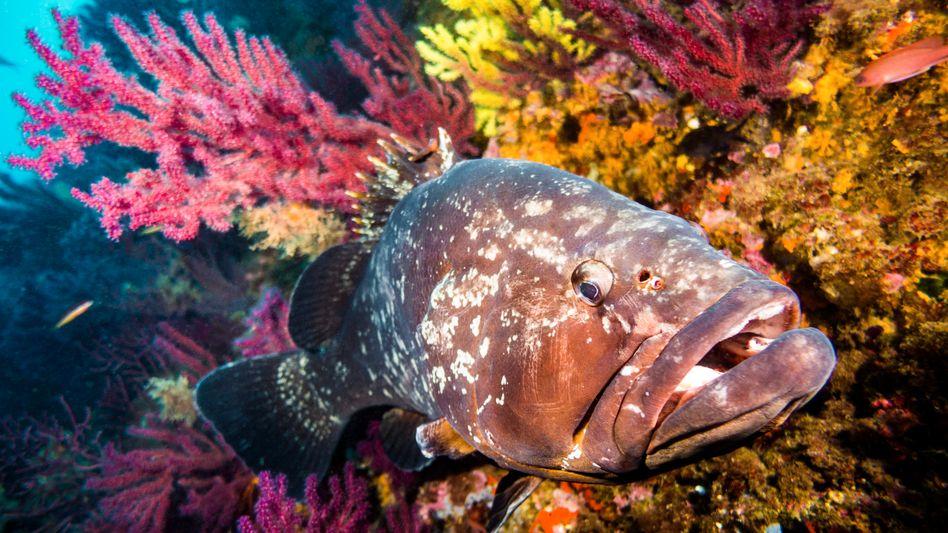 Eines der Lebewesen, die sich im Meeresschutzgebiet vor Mallorca vermehren, ist der Braune Zackenbarsch