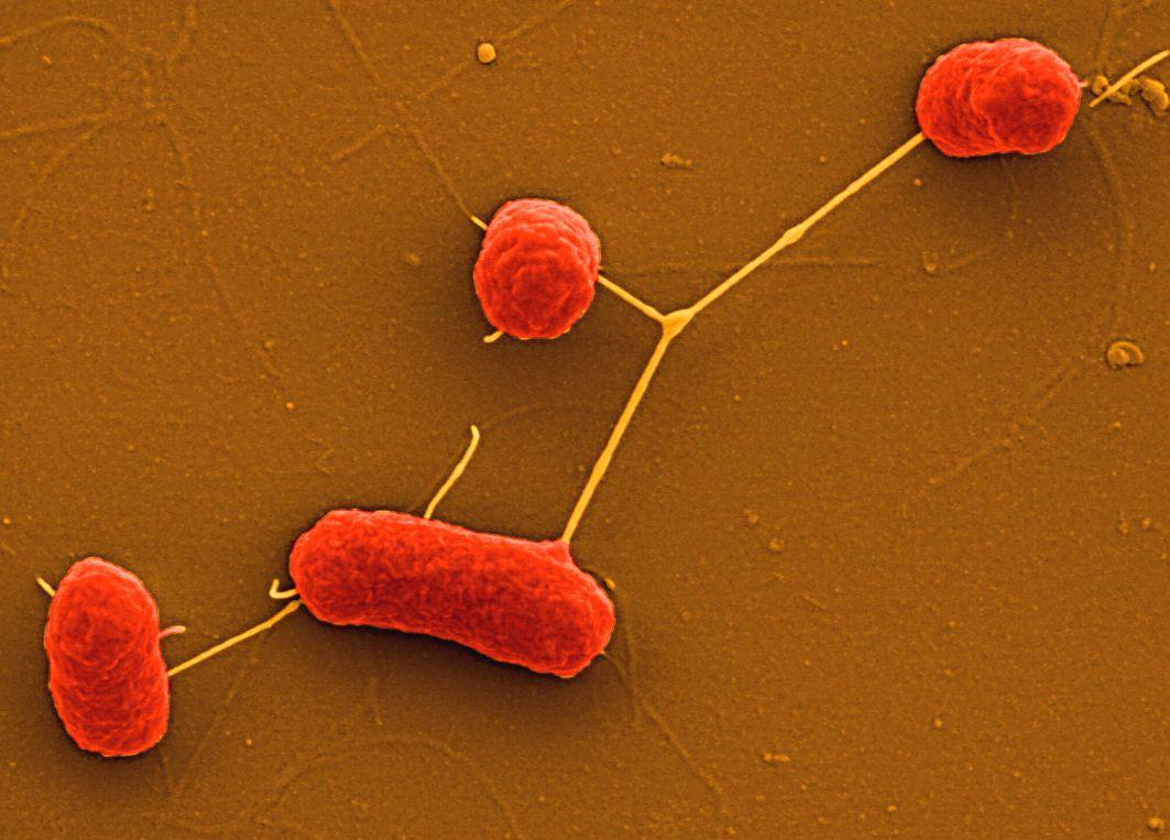 EINMALIGE VERWENDUNG EHEC Bakterien