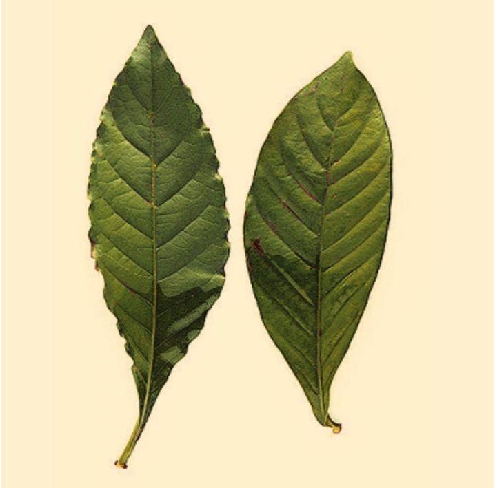Die Blätter des Kaffeestrauchgewächses Psychotria Viridis sind Bestandteil des Pflanzensuds Ayahuasca