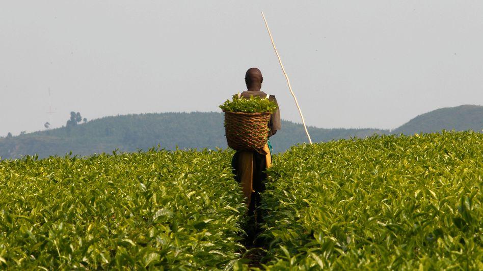 Teeplantage in Uganda: Fairtrade-Betriebe zahlen Arbeiter auch nicht besser
