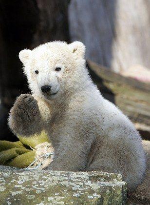 Knut, der Segensreiche: Keine Trennung zwischen Bär und Religion