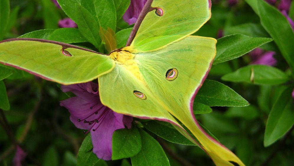Schmetterlingsevolution: Ein Anhängsel rettet leben