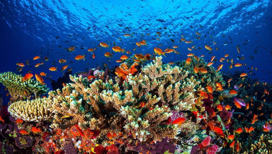 Korallenpracht am Great Barrier Reef