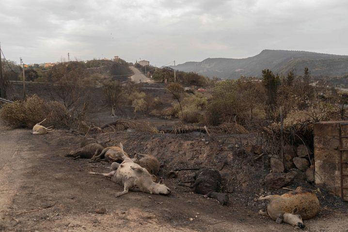 Tote Haustiere nach einem Brand auf der italienischen Insel Sardinien