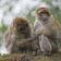 Affenrudel bricht aus Tierpark aus