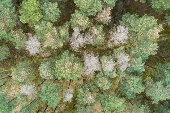 Kranke Kiefern mit ausgetrockneten Baumkronen in den Niedersächsischen Landesforsten im Landkreis Gifhorn