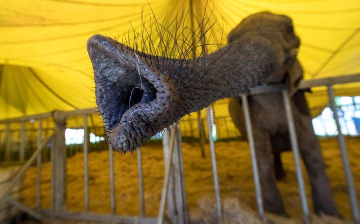 Ein Elefant im Zirkus in München