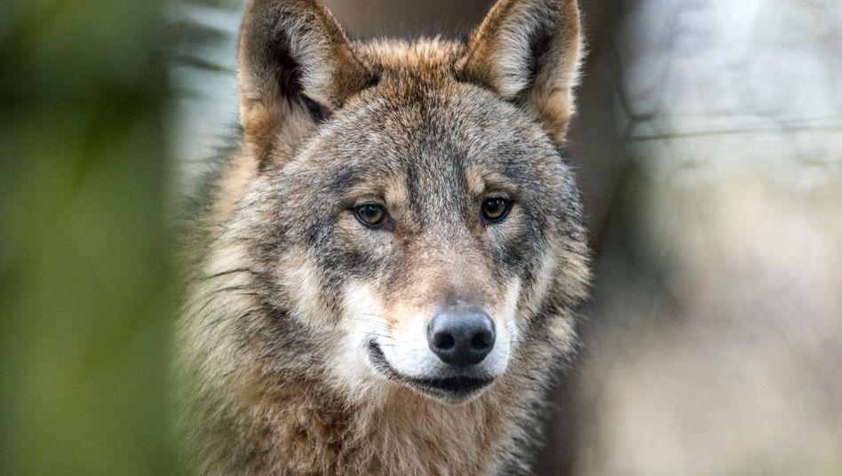 Wolf in Tierpark (Symbolbild)