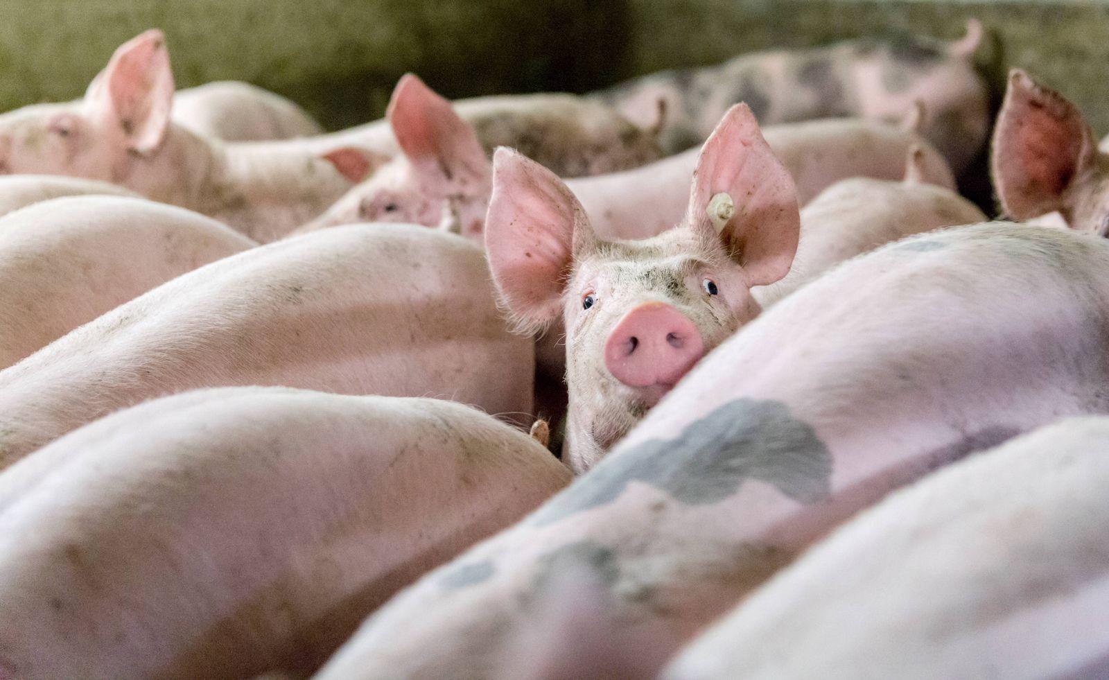 EINMALIGE VERWENDUNG Schweinemastbetrieb